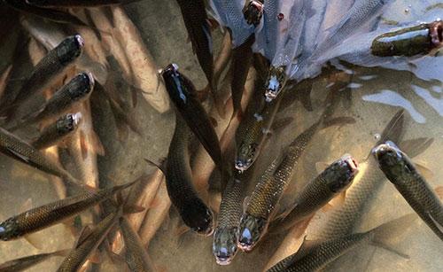 养殖技术鱼饲料喂养方式有哪些